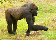 Critically Endangered Species Prints - Western Lowland Gorilla Female Print by Millard H. Sharp