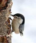Lori Tordsen - White-breasted Nuthatch