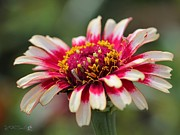 Whirlygig Framed Prints - Zinnia from the Whirlygig Mix Framed Print by J McCombie