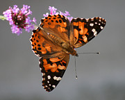 Karen Adams Prints - American Painted Lady Butterfly Print by Karen Adams