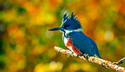 Belted Kingfisher Print by Brian Stevens
