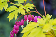 Gardening Photography Framed Prints - Bleeding Heart - VanDusen Botanical Garden Framed Print by May L