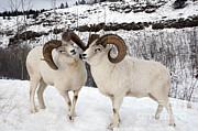 Mark Newman - Dall Sheep