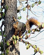 Eastern Fox Squirrel Posters - Eastern Fox Squirrel Poster by Jack R Brock
