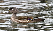 Ken Keener - Female Wood Duck
