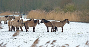 Flevoland Framed Prints - Herd of Konik horses in the snow in winter Framed Print by Jan Marijs