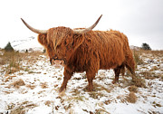 Scotland Art - Highland Cow by Grant Glendinning