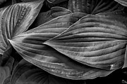 Leaves - Hosta by Robert Ullmann