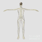 Nerves Prints - Medical Illustration Of The Human Print by Stocktrek Images