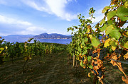 Pinot Noir Photos - Okanagan Valley Vineyards by Kevin Miller