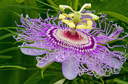 Passion Fruit Framed Prints - Passion Flower Framed Print by Geri Scull