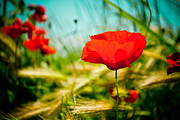 Plant Greeting Cards Posters - Poppy field and sky Poster by Raimond Klavins