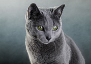 Gracefully Prints - Russian Blue Cat Print by Nailia Schwarz
