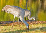Fauna Metal Prints - Sandhill Crane Metal Print by Millard H. Sharp