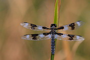 Paul Marto - 8-Spotted Skimmer