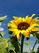 Blue Photos - Sunflower by Les Cunliffe