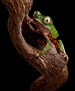 Costa Framed Prints - Tree Frog  Framed Print by Dirk Ercken