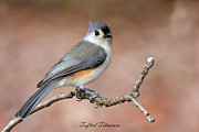 David Lester Photos - Tufted Titmouse by David Lester