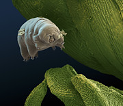 Cryptobiotic Prints - Water Bear Print by Eye of Science and Science Source