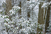 Hardwood Trees Posters - Winter Monongahela National Forest Poster by Thomas R Fletcher