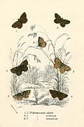 Flies Prints - Butterflies Print by English School
