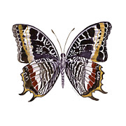 White Background Originals - 88 Castor Butterfly by Amy Kirkpatrick