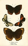 Butterfly Prints - Butterflies Print by English School