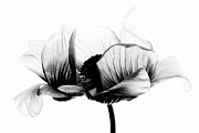 Beauty Mark Photo Framed Prints - Anemone Framed Print by Mark Johnson
