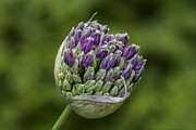 Flowers - Bud by Robert Ullmann