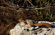 Eastern Fox Squirrel Metal Prints - Eastern Fox Squirrel Metal Print by Jack R Brock