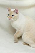 Flame Point Siamese Cat Print by Amy Cicconi