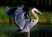 Paulette Thomas Photography Posters - Great Blue Heron Poster by Paulette  Thomas