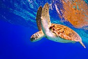 Isabelle Kuehn - Green Sea Turtle
