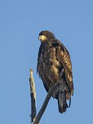 Doug Lloyd - Juvenile Bald Eagle