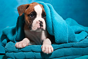 Head On Pillow Prints - little Boxer dog puppy Print by Doreen Zorn
