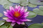 Waterlily Metal Prints - Pink lotus Metal Print by Anek Suwannaphoom