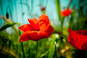 Red Flower Pyrography Prints - Poppy field and sky Print by Raimond Klavins