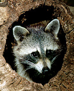 Millard H Sharp - Raccoon