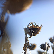 Stalk Art - Sunflowers by Bernard Jaubert