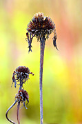 Flower Design Photo Originals - Wilted flower  by Tommy Hammarsten