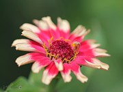 Zinnia Elegans Framed Prints - Zinnia from the Whirlygig Mix Framed Print by J McCombie