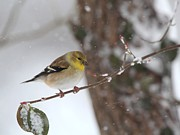 Spinus Tristis Prints - American Goldfinch Print by Jack R Brock