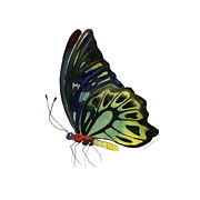 Watercolor. Butterfly Paintings - 97 Perched Kuranda Butterfly by Amy Kirkpatrick