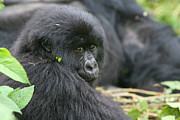 Gorilla Prints - A Backward Glance Print by Bruce J Robinson
