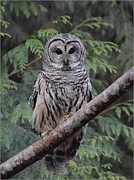 Female Pyrography Prints - A Barred Owl Print by Daniel Behm