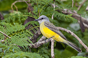 Tyrant Framed Prints - A beautiful Tropical Kingbird Framed Print by Craig Lapsley