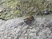 Galina Todorova - A bee on the concrete