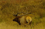 Large Animals Posters - A big Bull Elk Poster by Jeff  Swan