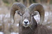 Curls Photos - A Big Ram Caught With His Mouth Full by Jeff  Swan