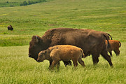 Charles Kozierok Art - A Bison Family Affair by Charles Kozierok